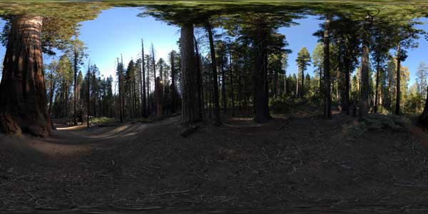 panorama 360° of the giant sequoias of yosemite park in california
