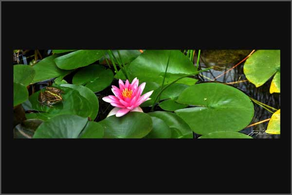 panoramic picture of a frog with a water lily flower