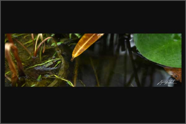 panoramic picture of a frog in its natural environment