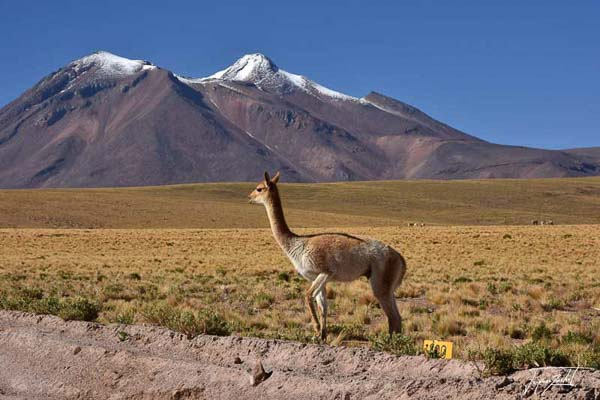 Photo of Chile, vicuñas, mammals of South America that lives on the high plateaus of the Andes.