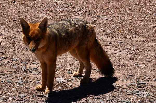 Photo of chile, a fox in the Atacama desert