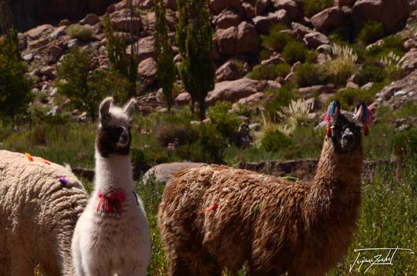 Photo of Chile, the lamas