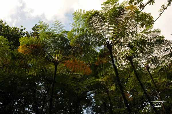 Tree ferns in martinique