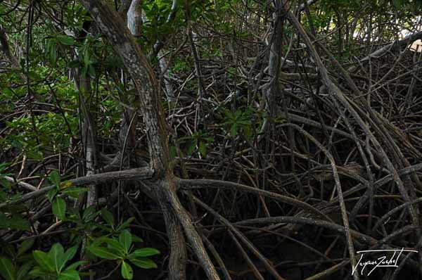 the mangrove, Peninsula of the caravel in Martinique, French West Indies