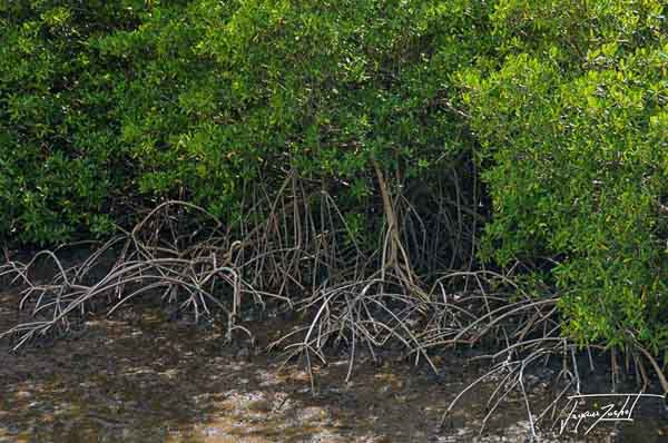 Peninsula of the caravel, the mangrove; Martinique, French West Indies